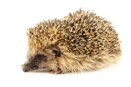 Young wild European hedgehog, born late in the year and too small to survive hibernation, it will be incubated over the winter and released back into the wild in the spring
