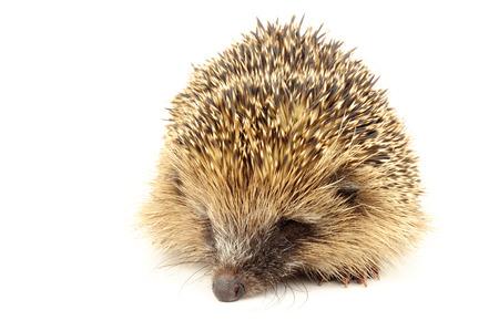 llegar tarde: erizo europeo salvaje joven, nacida a finales de año y demasiado pequeño para sobrevivir la hibernación, se incuba durante el invierno y se libera de nuevo en su hábitat natural en la primavera