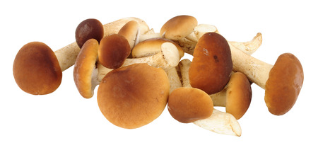 Fresh raw pioppini mushrooms isolated on a white background