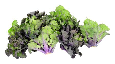 Group of kalettes a hybrid of kale and Brussels sprouts isolated on a white background
