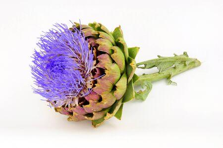 Flowering globe artichoke flower, also known as green artichoke and French artichoke Standard-Bild