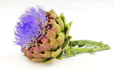 Blühende Artischockenblume, auch bekannt als grüne Artischocke und französische Artischocke