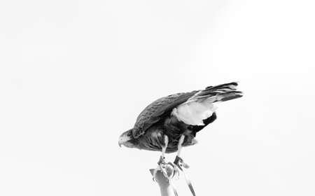 falconry: Harria Hawk
