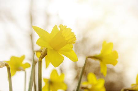 daffodils: Daffodils on a summer day