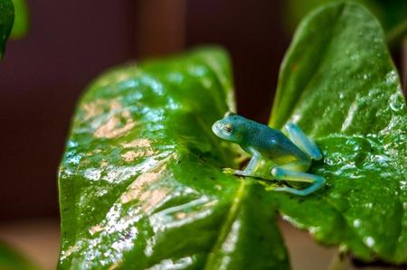 turqoise: Turqoise frog on a green leaf Stock Photo