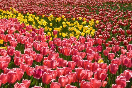 canberra: Massed Tulip Display at Floriade, Canberra, Australia