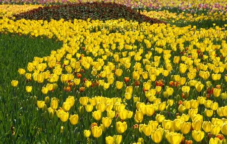 floriade: Massed Tulip Display at Floriade, Canberra, Australia