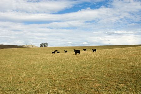 Cattle grazing on a farm in Southern New South Wales, Australia photo