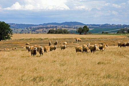 australia farm: Sheep, grazing on a farm in Southern New South Wales, Australia Stock Photo