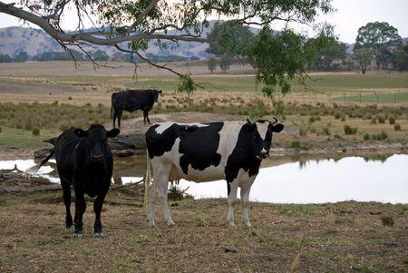 waterhole: Cattle standing beside a waterhole