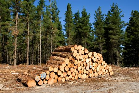 Logs, stacked, ready for tranportation to the mill photo