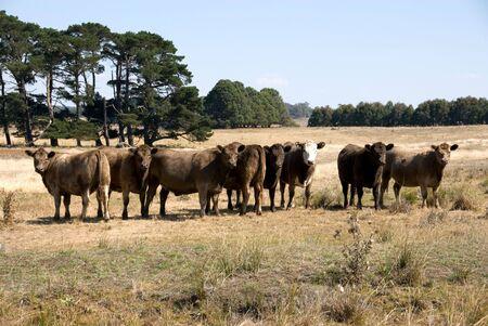 paddock: Cattle in a paddock