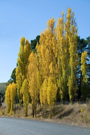 poplars: Poplars in full Autumn Colour