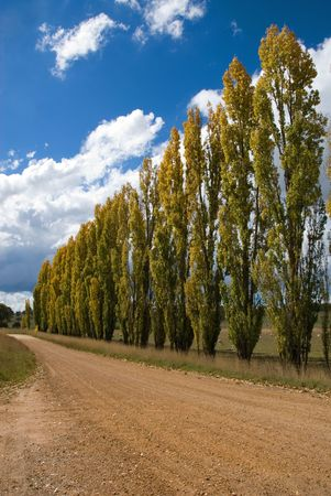 A row of poplars beside a country road in the Central West region of New South Wales, Australia