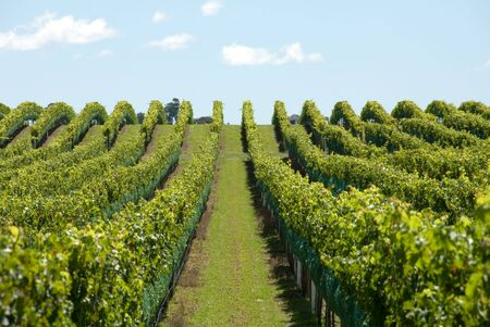 A Vineyard on the Southern Highlands of New South Wales, Australia