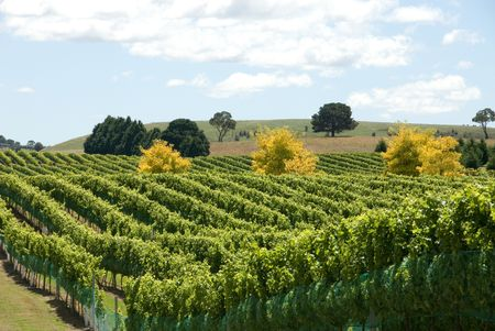 new south wales: A Vineyard on the Southern Highlands of New South Wales, Australia