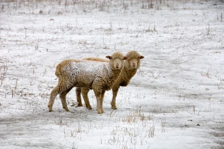 ewes: Sheep, standing in the snow, near Laggan, New South Wales, Australia