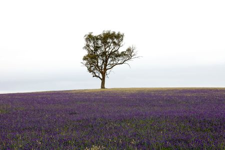 curse: A single Eucalyptus tree, amidst the purple flowers of the noxious weed, Pattersons Curse, on farmland in South Western New South Wales, Australia Stock Photo