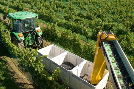 A tractor pulling a trailer containing bins being loaded with freshly harvested grapes from a grape harvester photo