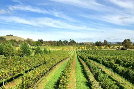 new south wales: Rows of grapevines growing in a vineyard on the Southern Highlands of New South Wales, Australia