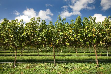 Grapevines growing in a vineyard on the Southern Highlands of New South Wales, Australia photo