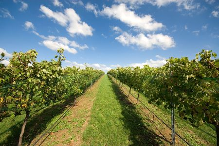 Rows of grapevines growing in a vineyard on the Southern Highlands of New South Wales, Australia photo