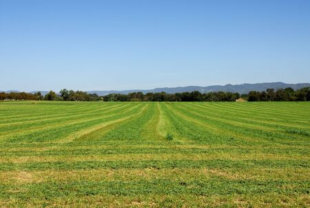 lucerne: Lucerne, cut ready for baling, on a farm near Mudgee, in New South Wales, Australia