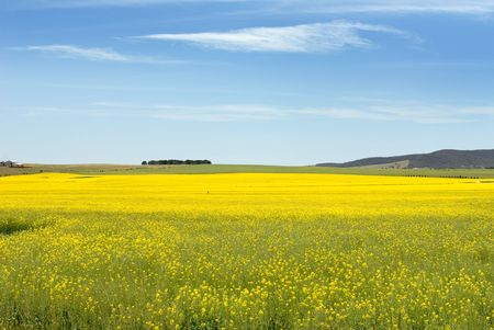 canola plant: The very striking yellow flowers of the canola plant, growing in a paddock near Goulburn in New South Wales, Australia