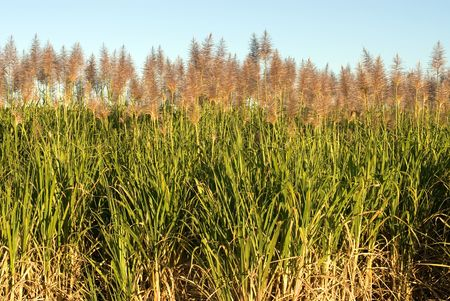cane plumes: Sugar Cane growing on a farm in Northern NSW, Australia