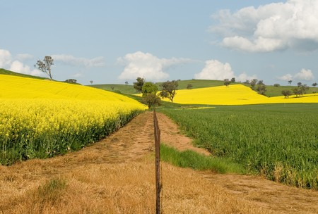 fenceline: Canola crops, in full Spring flower, near Cootamundra, New South Wales, Australia