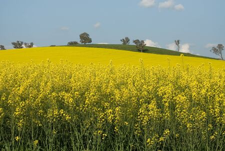 fenceline: A Canola crop, in full Spring flower, near Cootamundra, New South Wales, Australia