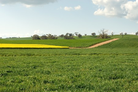 A Canola crop, in full Spring flower, near Cootamundra, New South Wales, Australia Stock Photo - 8006322