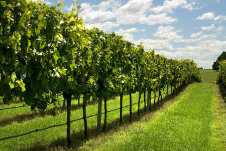 new south wales: Rows of Grapevines growing in a vineyard on the Southern Highlands of New South Wales, Australia Stock Photo
