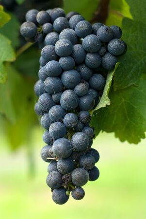 cabernet: A Bunch of Cabernet Sauvignon Grapes growing in a vineyard on the Southern Highlands of New South Wales, Australia