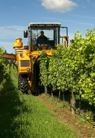 Harvesting Grapes in a vineyard near Sutton Forest, on the Southern Highlands of New South Wales, Australia Stock Photo - 12829937
