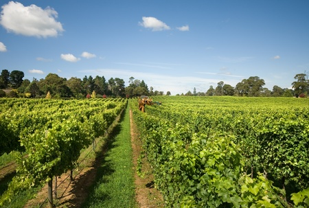 harvester: Harvesting Grapes in a vineyard near Sutton Forest, on the Southern Highlands of New South Wales, Australia Stock Photo