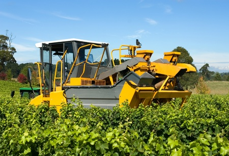 new south wales: Harvesting Grapes in a vineyard near Sutton Forest, on the Southern Highlands of New South Wales, Australia Stock Photo