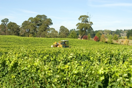 Harvesting Grapes in a vineyard near Sutton Forest, on the Southern Highlands of New South Wales, Australia photo