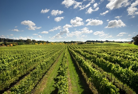 A view of a vineyard, growing cold-climate wines, near Sutton Forest, on the Southern Highlands of New South Wales, Australia