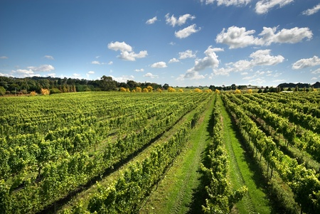 australia farm: A view of a vineyard, growing cold-climate wines, near Sutton Forest, on the Southern Highlands of New South Wales, Australia