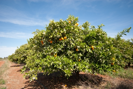 citrus tree: Orange trees growing in an orchard near Griffith, New South Wales, Australia
