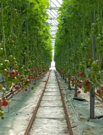 tomatos: Hydroponically grown Tomatoes growing inside a hothouse Stock Photo