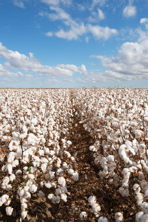 Cotton ready for harvest, near Warren, in New South Wales, Australia