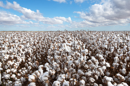 Cotton ready for harvest, near Warren, in New South Wales, Australia Фото со стока - 118715768