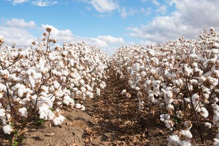 Cotton ready for harvest, near Warren, in New South Wales, Australia