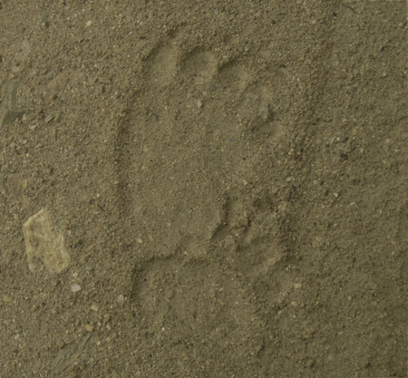Brown bear track on river sand
