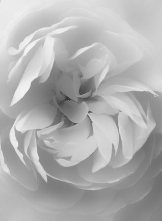 白バラの中心をクローズ アップ