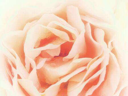 soft focus romantic pale pink rose