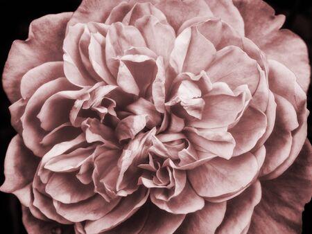 pale pink single rose