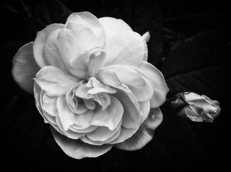 Soft white rose on a black background with a rosebud